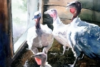 Turkeys in the Barn